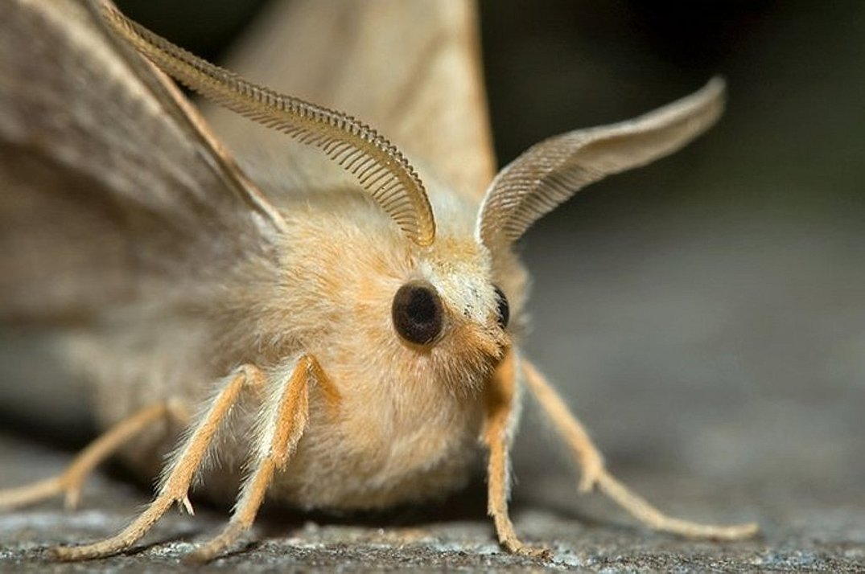 Моль насекомое