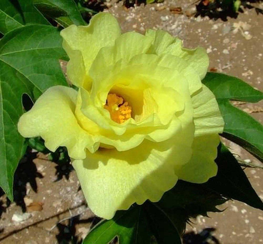 Хлопчатник цветок желтый