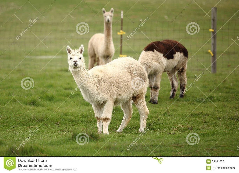 Животное альпака