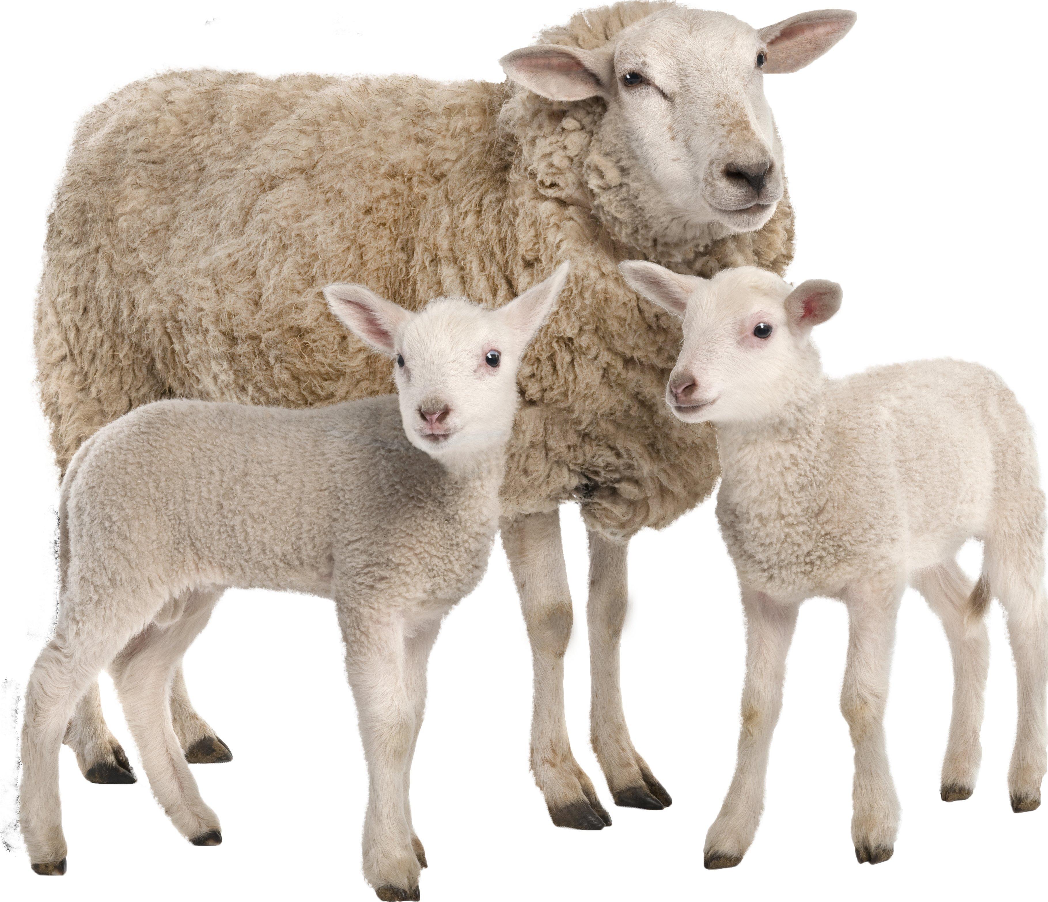Овца с ягненком на прозрачном фоне