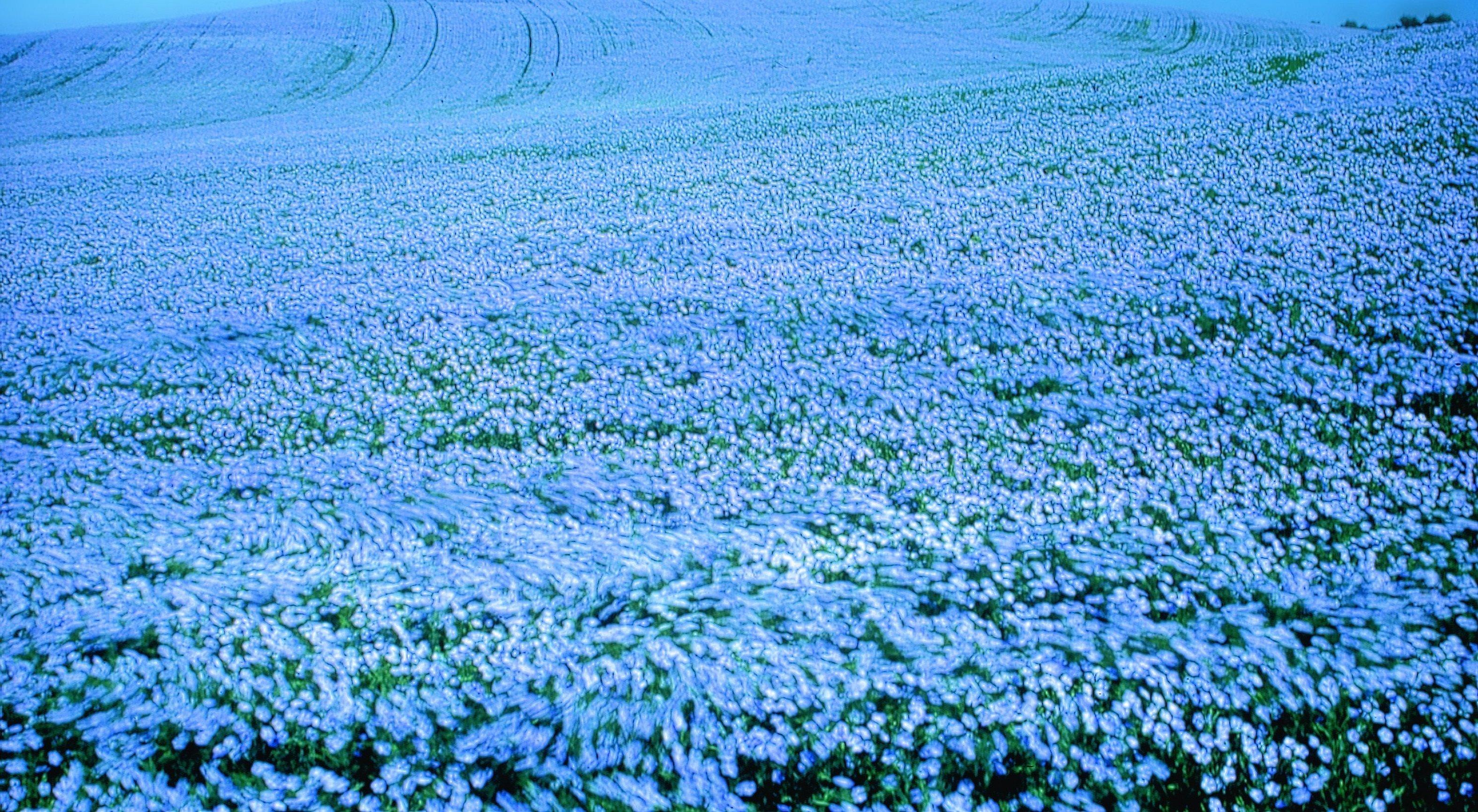 Поле цветущего льна