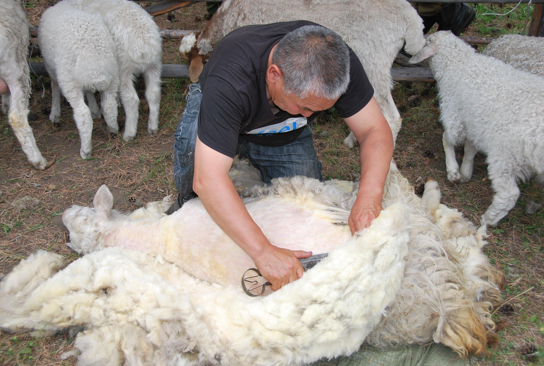 Стрижка овец в хакасии