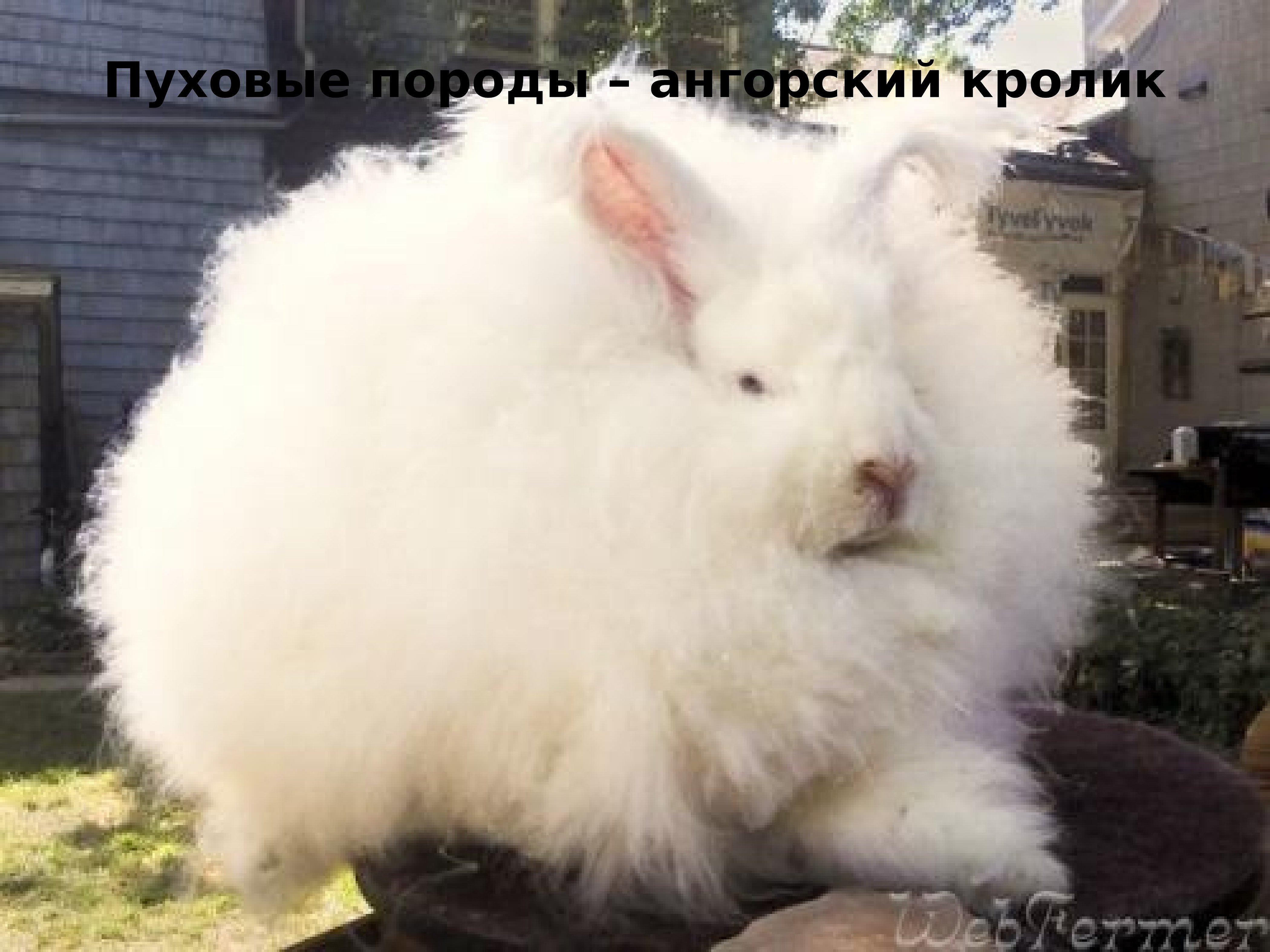 Ангорский пуховой кролик