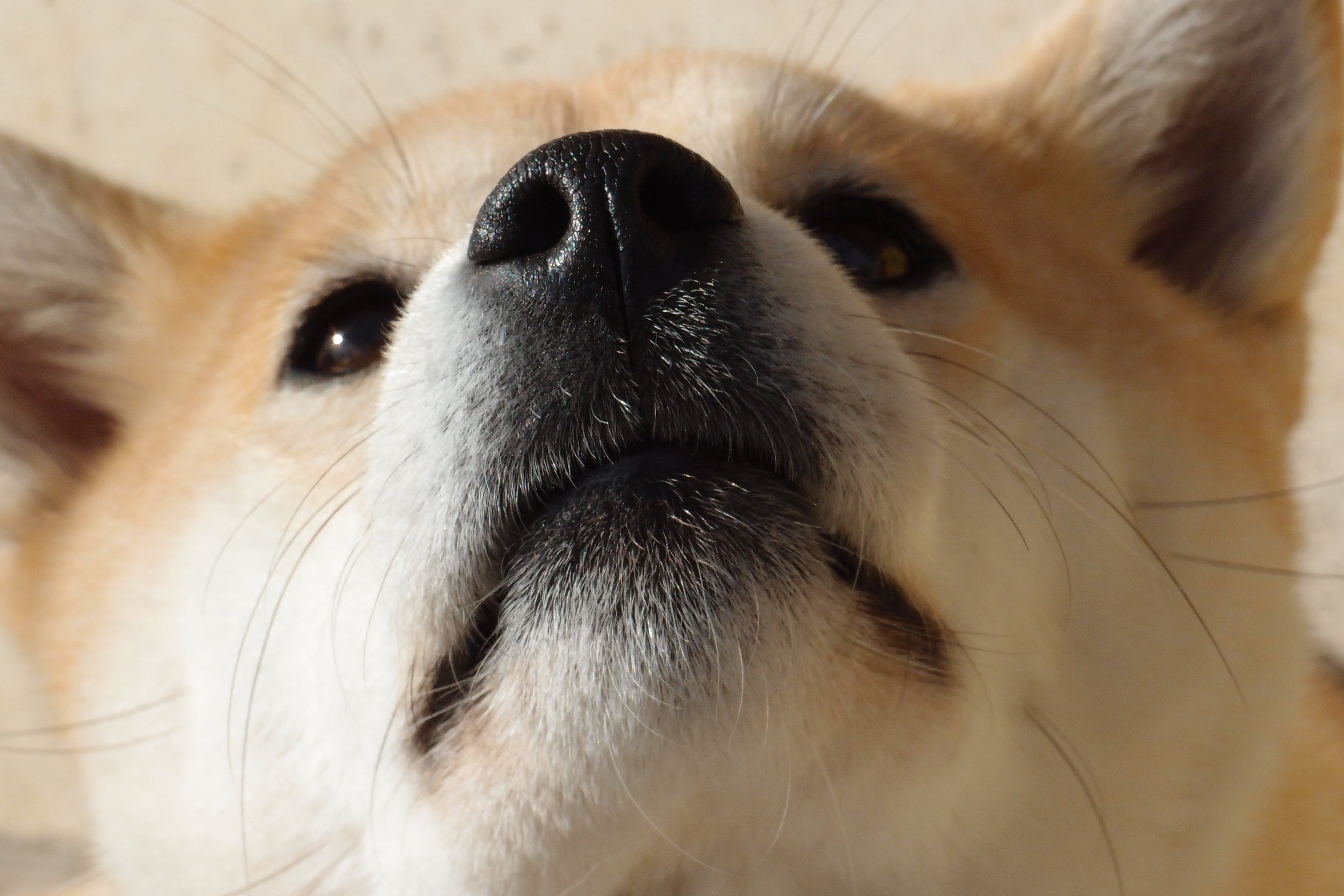 Акита собака