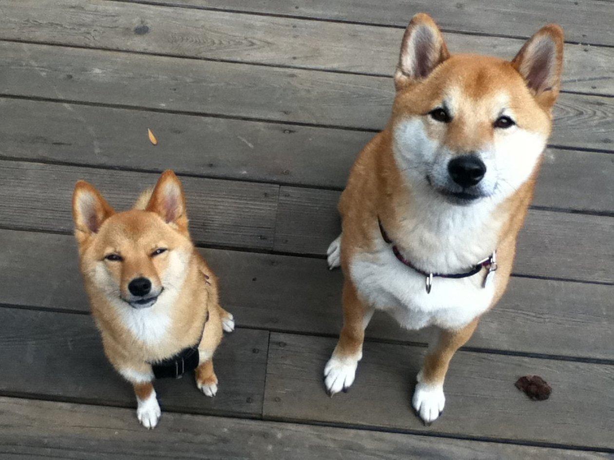 Порода собак шиба ину
